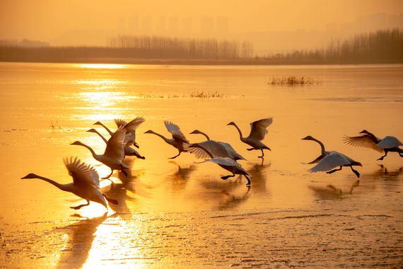 【遨游摄影】红腹锦鸡+天鹅三门峡鸟类生态摄影5日游【专业指导/鸟类生态/雪中精灵】